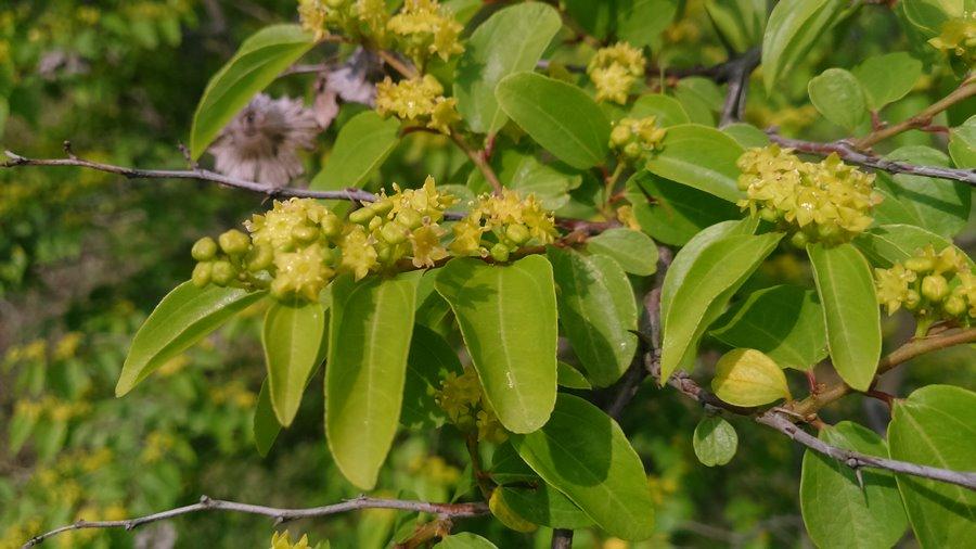 Karaçalı bitkisi