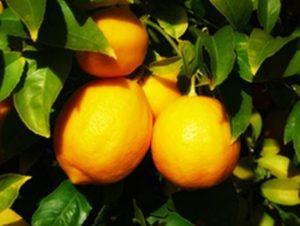 limon yağı